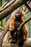 Лемур на зоопарке бронкс Стоковое Изображение