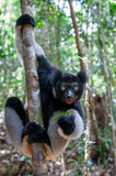 Лемур Indri в Мадагаскаре Стоковое Фото
