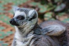 Лемур Madagascan Стоковое Изображение RF
