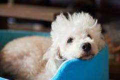 Ленивая белая собака пуделя Стоковое фото RF