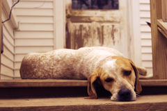 Ленивая гончая собака на крылечке Стоковая Фотография