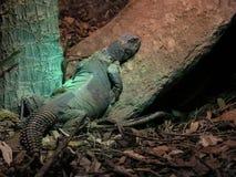 ленивая ящерица Стоковое Фото