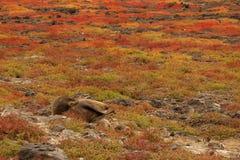 ленивое море льва Стоковые Фото