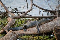 Ленивое gator Стоковая Фотография RF