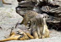 Ленивое meerkat Стоковые Изображения