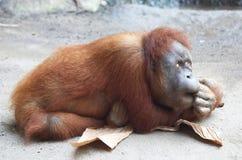 Ленивое Orang Utan Стоковое фото RF