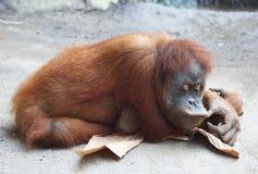 Ленивое Orang Utan Стоковая Фотография RF