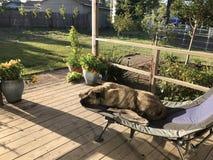 Ленивые дни собаки лета Стоковое фото RF