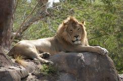 Ленивый лев Стоковое Фото