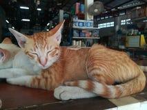 Ленивый кот Сиама Стоковые Фото