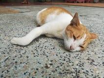 Ленивый кот Сиама Стоковые Изображения RF