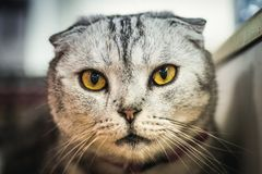 Ленивый кот loking Стоковое фото RF