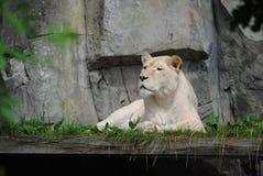 ленивый львев стоковое фото rf