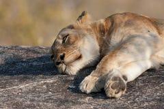 ленивый львев Стоковые Фотографии RF