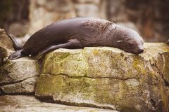 Ленивый морсой лев спать на утесе Стоковое фото RF