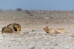 Ленивый мужчина и женский лев Стоковое фото RF