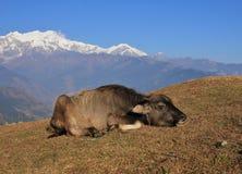 Ленивый младенец индийского буйвола Стоковые Фото