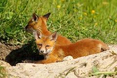 Ленивый новичок лисы Стоковая Фотография RF