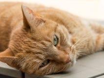 Ленивый оранжевый женский кот лежа на tabel Стоковая Фотография