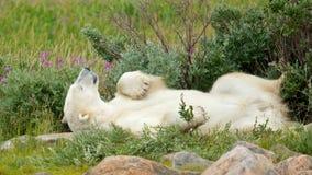 Ленивый полярный медведь в тундре 1 стоковое фото rf