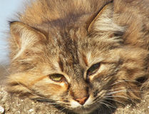 Ленивый сонный кот имбиря Стоковое Изображение