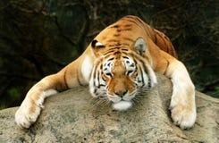 ленивый тигр стоковое фото rf