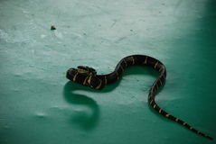 Лента Krayt (fasciatus) bungarus - ядовитая змейка Стоковое Изображение