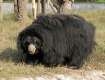 лень медведя Стоковые Фотографии RF