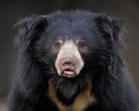лень медведя Стоковые Фото