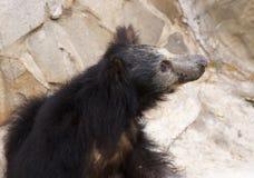 лень медведя Стоковое фото RF