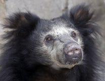лень медведя Стоковая Фотография RF