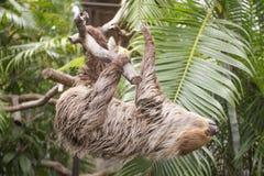 Лень молодого Hoffmann 2-toed взбираясь на дереве Стоковые Фото