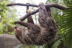 Лень молодого Hoffmann 2-toed взбираясь на дереве Стоковые Изображения RF