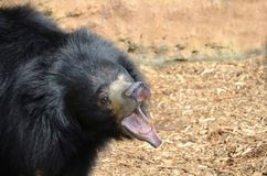 лень рычать медведя Стоковая Фотография