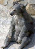 лень 2 медведей Стоковое Изображение RF
