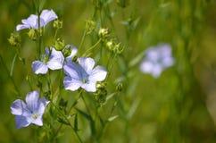 Лен или льняное семя (usitatissimum Linum) Стоковое Изображение RF