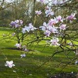 ` Леонарда Messel ` магнолии, белый цветок и отверстие бутона на дереве Стоковое фото RF