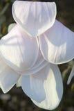 ` Леонарда Messel ` магнолии, белый цветок и отверстие бутона на дереве Стоковая Фотография RF