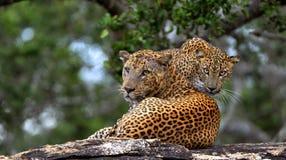 Леопарды на камне Kotiya pardus пантеры леопарда Sri Lankan Стоковая Фотография RF