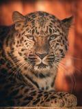 Леопард Амура лежа на камне, смотря правый на мне Стоковое Изображение RF