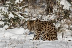 Леопард Амура Стоковые Изображения RF
