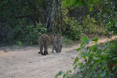 Леопард в животном эндемического заболевания ` s Шри-Ланка младенец 02 очень редкий случай, симпатичный младенец 2 стоковая фотография rf