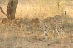 леопард злаковика Стоковое Изображение RF