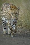 Леопард идя на дорогу песка смотря свирепо к телезрителю стоковые изображения rf