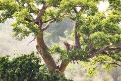 Леопард и убийство в дереве стоковое фото rf