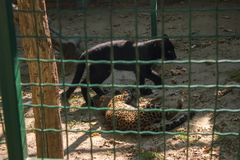 леопард и черная пантера играют стоковые фото