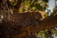 Леопард лежит сонно на ветви в солнечности стоковые фотографии rf