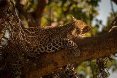 Леопард лежит сонно на голове ветви поворачивая стоковая фотография rf