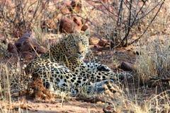 Леопард - лоток Африка etosha Намибии стоковое изображение