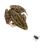 леопард лягушки мухы Стоковые Изображения RF